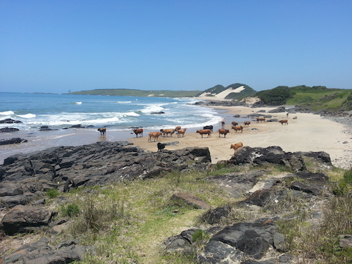 Eastern Cape Cows on the Beach, image by Derryn Campbell