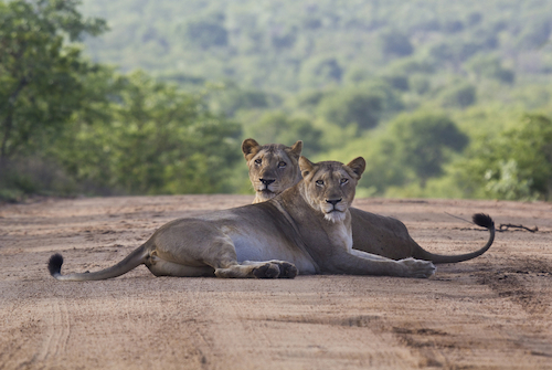 Lions in the Kruger Park