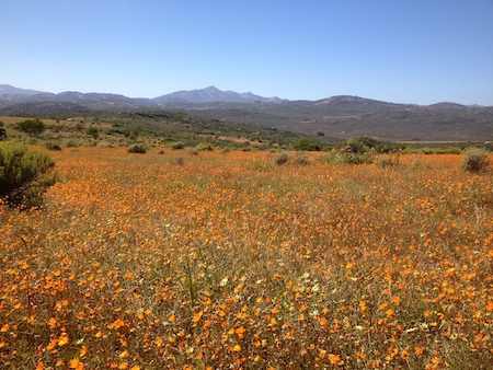 Wildflowers in Bloom at Namaqua National Park in South Africa