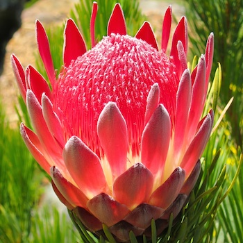 Image result for south africa flower