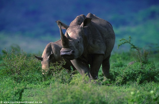 South African rhino by TourismNorthWest