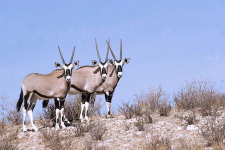 Kalahari Oryx - image by Shutterstock